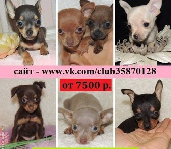Фотография в Собаки и щенки Продажа собак, щенков Той-терьера красивеееенных щеночков разных в Ярославле 7500