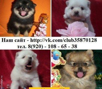 Изображение в Собаки и щенки Продажа собак, щенков ШПИЦА чистокровных красивеньких щеночков в Ярославле 0