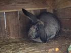 Увидеть foto Другие животные Продам сельскохозяйственных животных 35303299 в Электрогорске