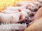 Изображение в Домашние животные Другие животные ПоросятаF1 Крупная белая скркщена с Ландрасом. в Электростали 0