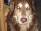 Новое фото Потери Пропала собака шоколадного окраса на ул, Спортивная в Клюшках 39993744 в Электростали