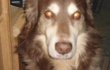 Пропала собака шоколадного окраса на ул, Спортивная в Клюшках