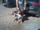 Фотография в Собаки и щенки Вязка собак Мальчик курцхаара , возраст 5 лет , ищет в Калязине 0