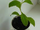 Скачать бесплатно foto Растения Стевия 33862076 в Энгельсе