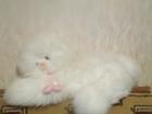 Свежее изображение Спортивный инвентарь Большая мягкая игрушка белая кошечка 64785123 в Йошкар-Оле