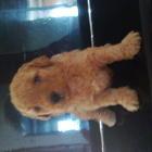 Продам щенков пуделя ,дата рождения 29 июля