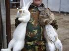Изображение в Домашние животные Другие животные Продам кроликов на мясо и на племя. в Южноуральске 250