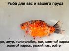 Новое фото Аквариумные рыбки малёк 39088839 в Калининграде