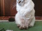 Скачать фотографию Вязка кошек Красотка сибирская голубоглазая ищет бойфренда 66438287 в Калининграде