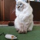 Красотка сибирская голубоглазая ищет бойфренда
