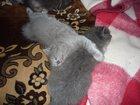 Смотреть фото  Шотландские котята 32302472 в Калуге