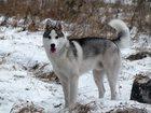 Фото в Собаки и щенки Вязка собак Кабель Сибирской Хаски ищем сучку для вязки в Калуге 0