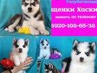 Фотография в Собаки и щенки Продажа собак, щенков Продам щенков! Очаровательного яркого симпатичного в Калуге 0