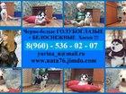 Изображение в Собаки и щенки Продажа собак, щенков Черно-белых голубоглазых и редчайших белоснежных в Калуге 1