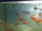 Фото в Рыбки (Аквариумистика) Аквариумные рыбки Продам партию 50 шт. красных меченосцев (размер в Обнинске 60