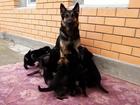 Фотки и картинки Немецкая овчарка смотреть в Калуге