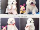 Изображение в Собаки и щенки Продажа собак, щенков Продаются щенки от превосходных родителей, в Калуге 0
