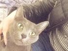 Новое фото Вязка кошек Умная, Красивая Девочка породы Русская голубая, ищет котика для встречи! (паспорт, кошечка привитая, все документы о прививках имеются) все вопросы по телефону, 60868716 в Калуге