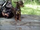 Новое foto Вязка собак шоко/под, -той терьер, опытный жених 68436014 в Калуге
