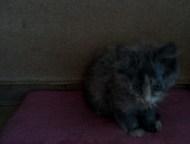 Отдам в хорошие руки двух котят от домашней кошки Отдам в хорошие руки двух котя