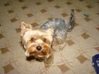 Скачать бесплатно фотографию Потерянные Потерялась собака 39045557 в Каменск-Уральске