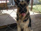 Фото в Собаки и щенки Вязка собак Восточно-европейский кобель возвраст 3года, в Казани 0