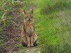 Смотреть фотографию Другие животные камышовые коты 34532012 в Казани