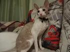 Скачать изображение Вязка Молодой корниш-рекс ищет кошку для вязки 37473843 в Казани