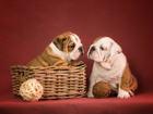 """Фотография в Собаки и щенки Продажа собак, щенков Питомник """"STAR HILLTOP"""" предлагает щенков в Казани 0"""