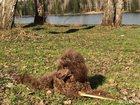 Изображение в Собаки и щенки Вязка собак Вязка карликового пуделя, цвет шоколадный, в Кемерово 10