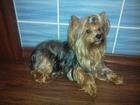 Фото в Собаки и щенки Вязка собак Предлагаю для вязки молодого кобеля с родословной. в Анжеро-Судженске 0