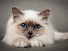 Уникальное фото  стрижка кошек 38805871 в Кемерово
