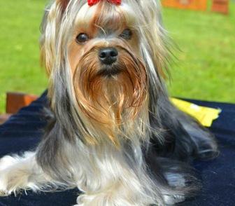 Йоркширский в кемерово щенок фото