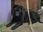 Фотография в Собаки и щенки Продажа собак, щенков Продаю щенков немецкой овчарки, черный- сучка, в Киржаче 8000