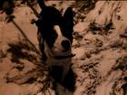 Изображение в Собаки и щенки Продажа собак, щенков Щенок мальчик, дворняга (внешне похож на в Кольчугино 0