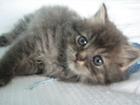 Изображение в Кошки и котята Продажа кошек и котят Отдам пушистого дымчатого котенка мальчика в Коломне 0