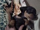 Изображение в Собаки и щенки Продажа собак, щенков ТАКСЫ в Комсомольске-на-Амуре 0