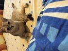 Фото в Кошки и котята Вязка Ищу котика (Скотиш Фолда) для молодой девочки в Комсомольске-на-Амуре 0