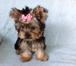 Изображение в   Продам щенка йоркширского терьера, мальчик, в Комсомольске-на-Амуре 40000