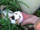 Фотография в Потерянные и Найденные Потерянные По адресу Калинина 17а потерялась кошечка. в Копейске 0