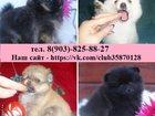 Изображение в Собаки и щенки Продажа собак, щенков Красивенные щенки померанцы! В продаже чистокровные в Костроме 9000