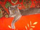 Фото в Кошки и котята Продажа кошек и котят Предлагаю для вязки британского котика голубого в Костроме 2000