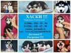 Фотография в Собаки и щенки Продажа собак, щенков Продам чистокровных щенков сибирской хаски в Костроме 8000