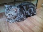 Foto в   мраморный крупный прямоухий шотландский кот в Костроме 1300