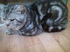 Фотография в   мраморный крупный прямоухий шотландский кот в Костроме 1500