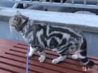 Просмотреть изображение Продажа кошек и котят чистокровный британец ждёт невест котята в продаже от 2500 41616750 в Костроме
