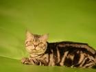 Скачать бесплатно фото  Кот мраморный вязка, британец опытный 44847552 в Костроме