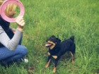 Скачать бесплатно фото Вязка собак ищу суку (девочку-сучку самку)а для случки в КОСТРОМЕ или Костромской области, 61625925 в Костроме