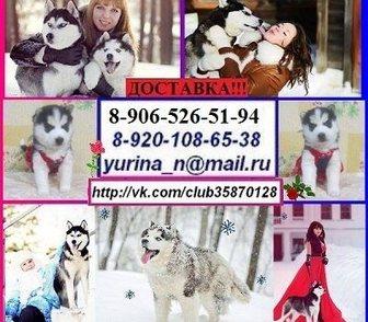 Фото в Собаки и щенки Продажа собак, щенков Щенков хаски продам недорого. 4 черно-белых в Костроме 0