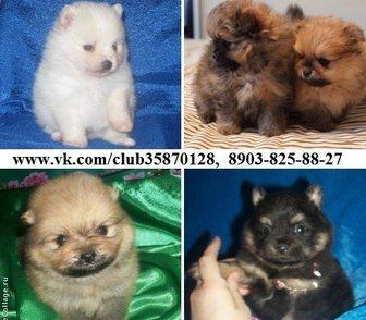 Фотография в Собаки и щенки Продажа собак, щенков ШПИЦА красивеееееннных чистокровных и нечистокровных в Костроме 0